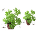 Citronella Plants with a 4In. Pot and Soil (2-, 4, or 8-Pack)