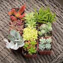Premium Unique Succulent Set (9-Pack)