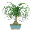 Brussel's Ponytail Palm Bonsai