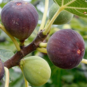 Super-Hardy Indoor/Outdoor Edible Fig Tree in a Pint Pot
