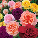 Pre-order Rainbow Rose Collection (4 Bare Root Plants)