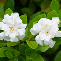 Pre-Order: Fragrant Ever-Blooming Potted Gardenia Plant