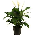 Spathiphyllum Sweet Pablo