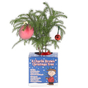 Costa Farms Live Charlie Brown Christmas Tree (Norfolk Island Pine), Small